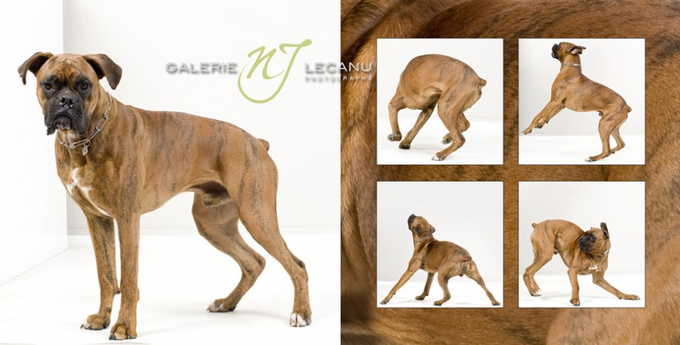 photo-chiens-en-studio-a-caen-deauville-normandie